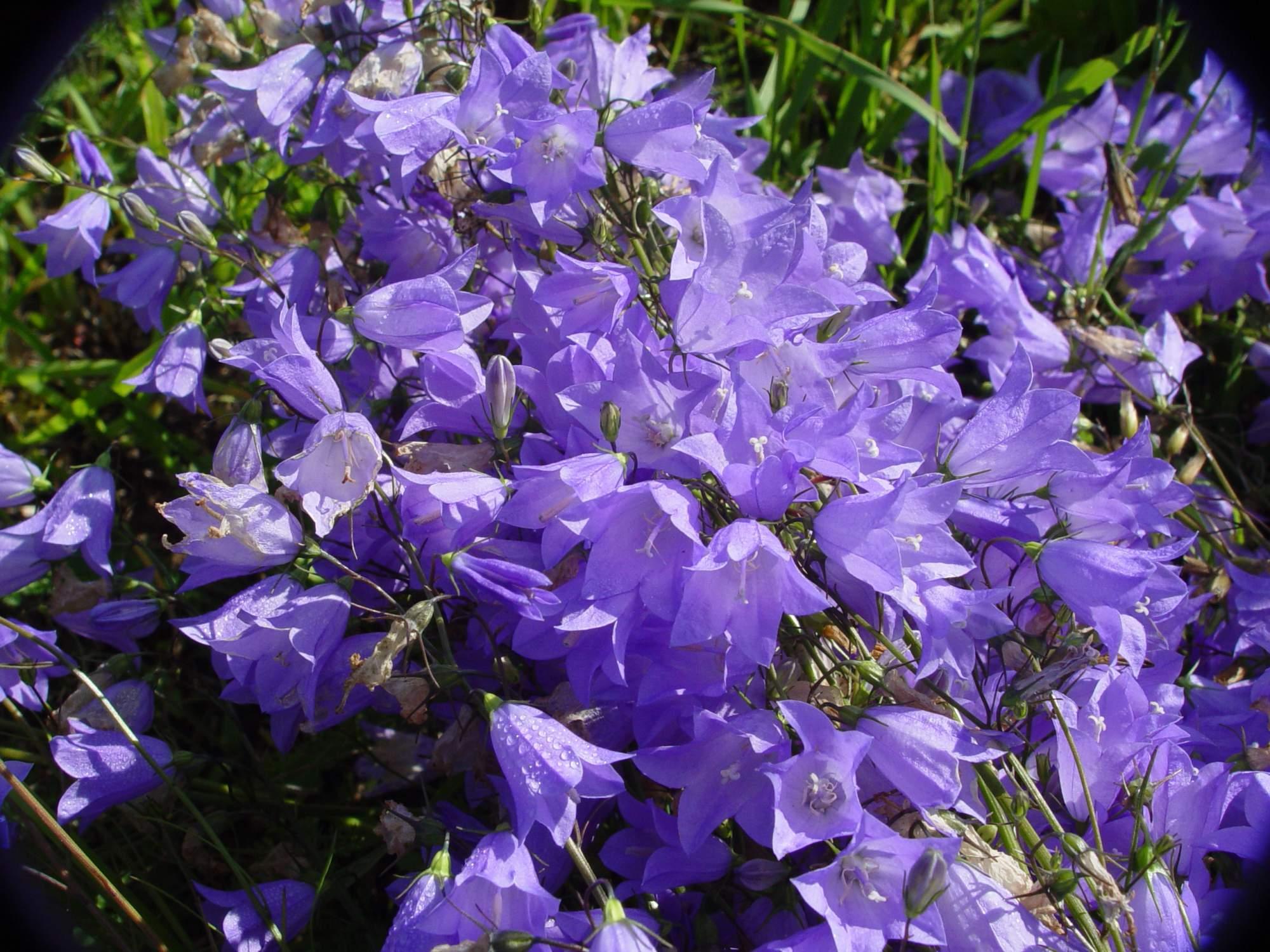 Цветы колокольчики в спб