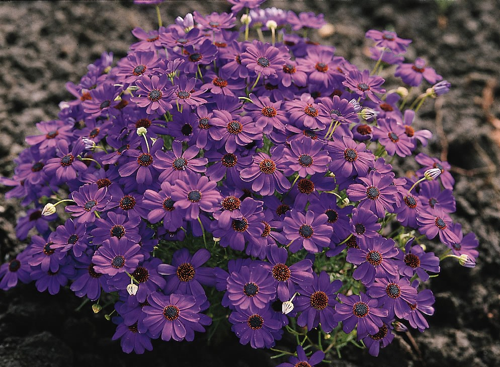 удивительный брахикома фото цветов надо искать место