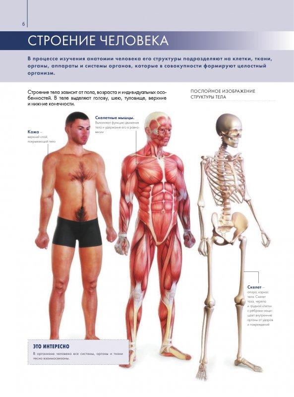 фото анатомия человека с описанием