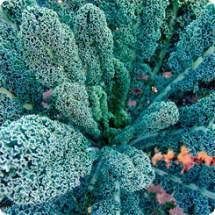 Семена Капуста листовая Кейл Тоскани F1, 10