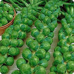 Семена Капуста брюссельская Сапфир, 0,5 г, Поиск