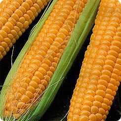 Семена Кукуруза Мечта Гурмана® F1, 5 г, СеДеК