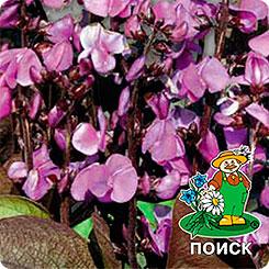 Семена Гиацинтовые бобы Рубиновая луна, 1
