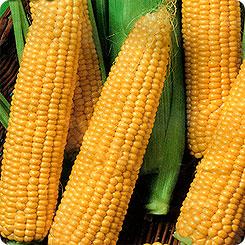 Семена Кукуруза Детский вкус, 5 г, СеДеК