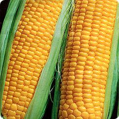 Семена Кукуруза сахарная Атлет F1®, 4