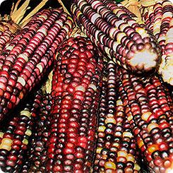 Семена Кукуруза Виолетта F1, 10 шт, Сады России