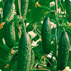 Семена Огурец Емеля F1, 10 шт, Манул 125003 по цене 35