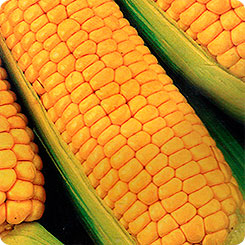 Семена Кукуруза сахарная Былина, 6 шт, Сибирский сад