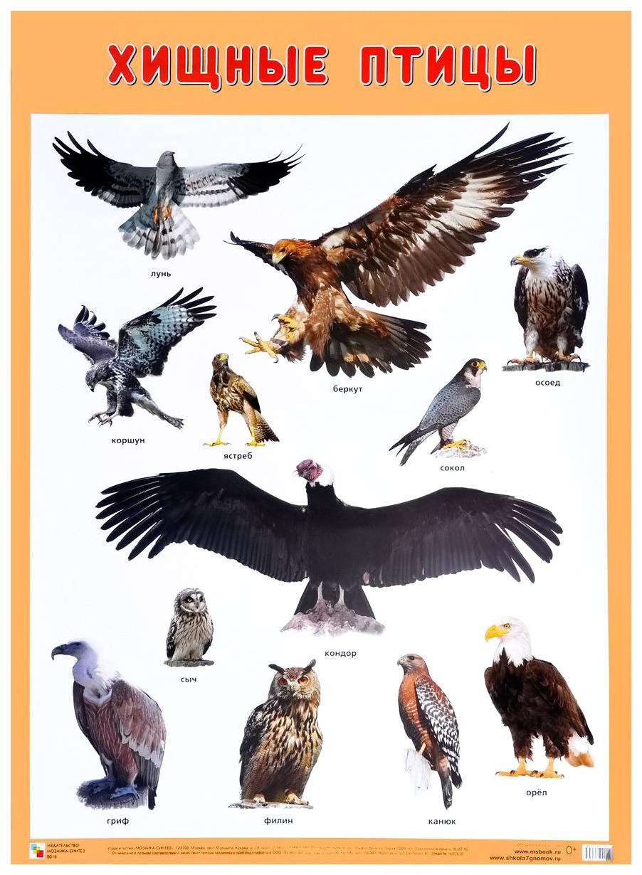 Купить Плакат Хищные птицы 50х70, Мозаика-Синтез, Подготовка к школе