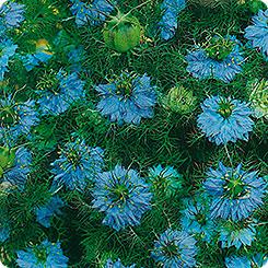 Семена Нигелла дамасская Голубая, 0,5 г Гавриш фото