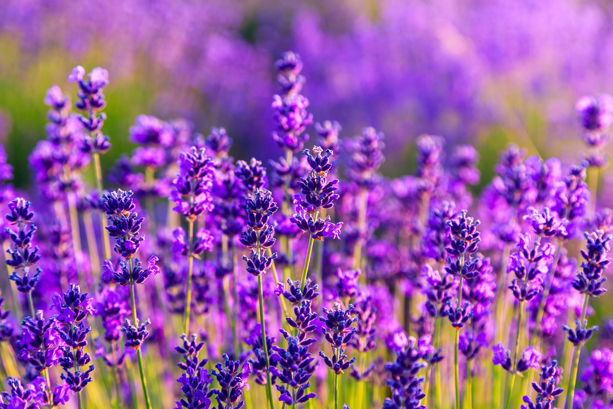 Цветы лаванды фотографии
