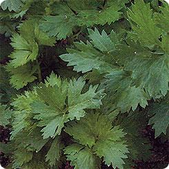 Семена Сельдерей листовой Арома, 0,5 г, Биотехника