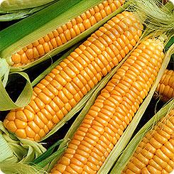Семена Кукуруза сахарная Золотой батам, 10 г, Поиск