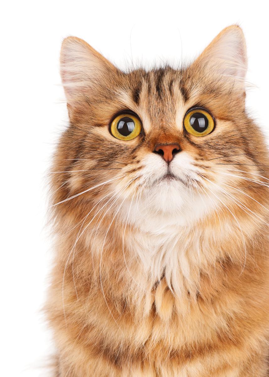 "Картина на холсте 50x70 см ""Рыжий кот"" Ekoramka HE-101-672"