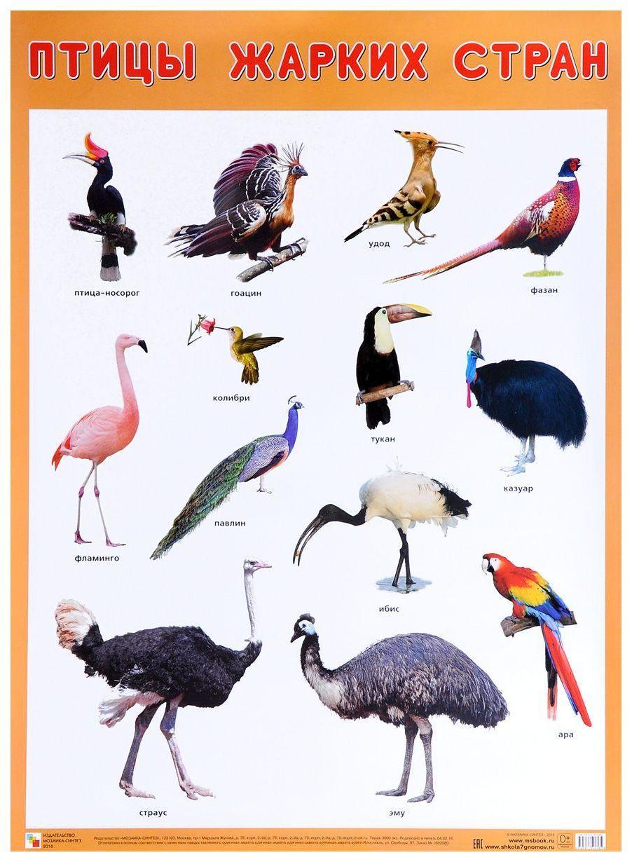 Купить Плакат «Птицы жарких стран», Мозаика-Синтез, Подготовка к школе
