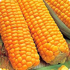 Семена Кукуруза Кубанская Консервная 148, 5