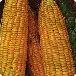 Семена Кукуруза сахарная Ранняя лакомка 121, 7 г, Русский огород
