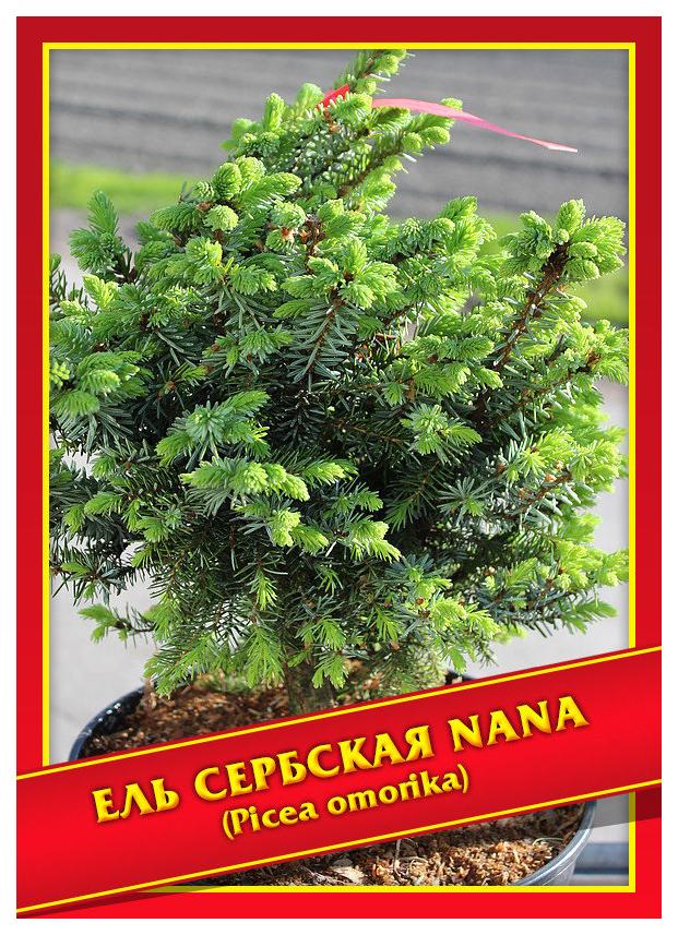 Семена Ель Сербская «Nana», 10 шт, Симбиоз