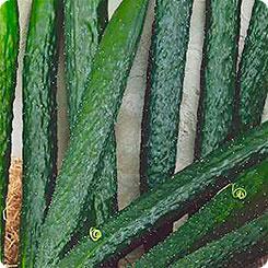 Семена Огурец Китайский Джин F1, 6 шт, Семена Алтая