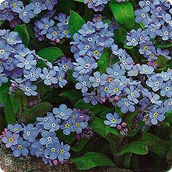 Семена Незабудка Синяя корзинка, 0,1 г Гавриш