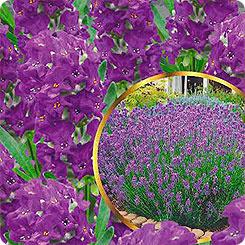 Семена Лаванда узколистная Пурпурный колос, 5 шт, PanAmerican Seeds семена Семена Алтая