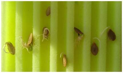 Матрасик для проращивания семян Лабиринт 10х12 см 2 шт