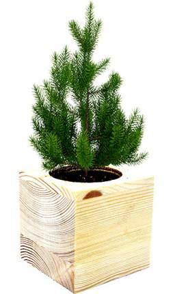 Набор для выращивания Gift Development V006592 Ель