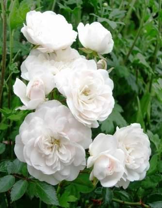 Семена Роза почвопокровная SWANY, 1 шт, Братья Топалович