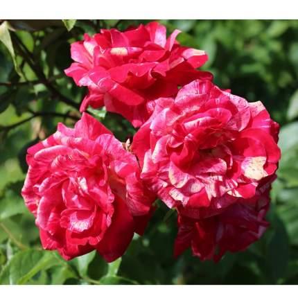 Семена Роза чайно-гибридная ПАПАГЕНО, 1 шт, NEW Семена Алтая