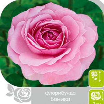 Семена Роза Флорибунда БОНИКА, 1 шт, Семена Алтая