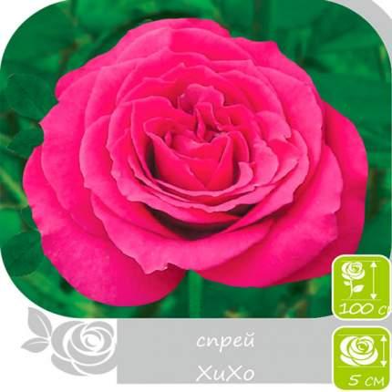 Семена Роза Спрей ХИХО, 1 шт, Семена Алтая