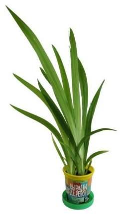 Набор для выращивания Вырасти, дерево! zk-054 Леопардовая лилия