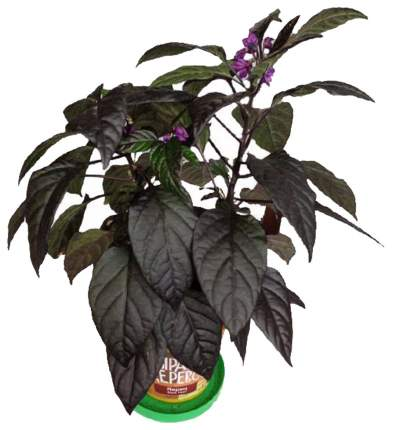 Набор для выращивания Вырасти, дерево! zk-018 Перец декоративный