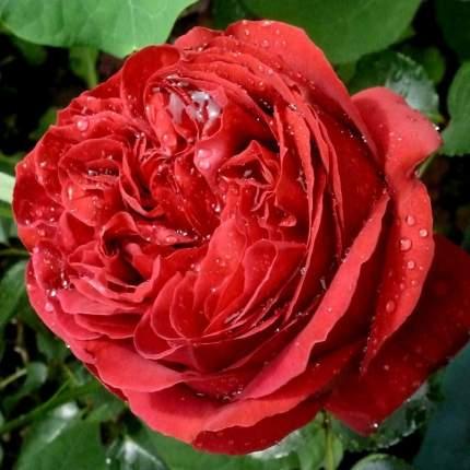 Роза Эрик Таберли плетистая - 1 саженец.