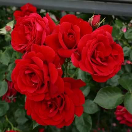 Роза Симпатия плетистая - 1 саженец.