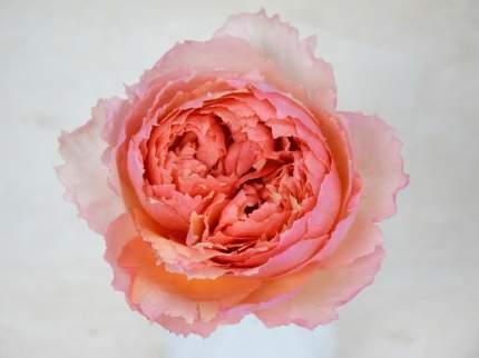 Роза Салманасар плетистая - 1 саженец.