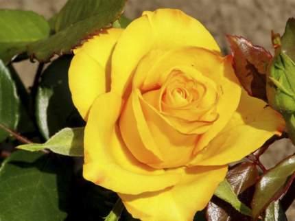 Роза Керио чайно-гибридная - 1 саженец.