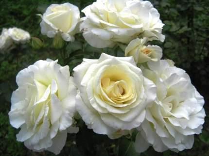 Роза Шнеевальцер плетистая - 1 саженец.