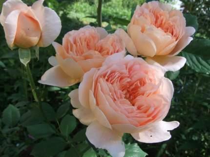 Роза Ти Клиппер английская - 1 саженец.