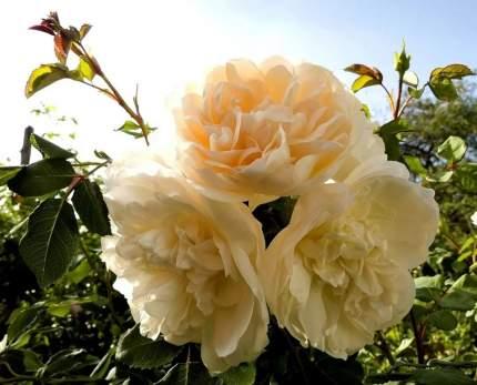 Роза Личфилд Ангел английская - 1 саженец.
