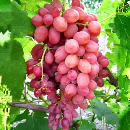 Виноград Лучистый - 1 саженец
