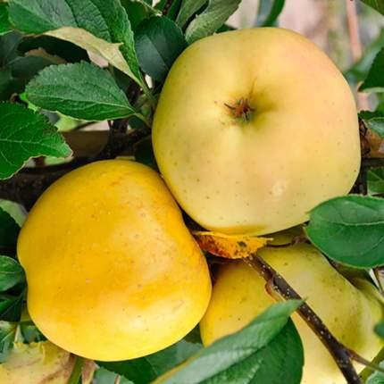 Яблоня Золотое летнее v7 100-140 Tim (1 шт.)