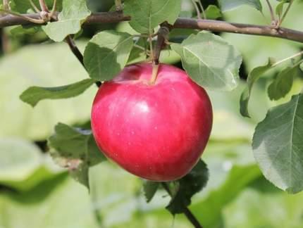 Яблоня Красное раннее  v7 100-140 Tim (1 шт.)