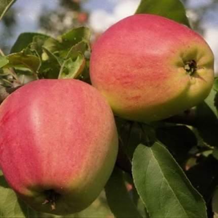 Яблоня Орлик v7 100-140 Tim (1 шт.)