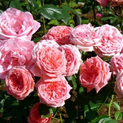 Роза флорибунда Кимоно v5 Tim (1 шт.)