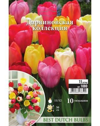 Тюльпан Дарвиновская коллекция Русский огород 1080