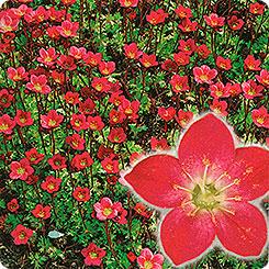 Семена Камнеломка Цветочный ковер, 0,03 г Многолетники мира АЭЛИТА