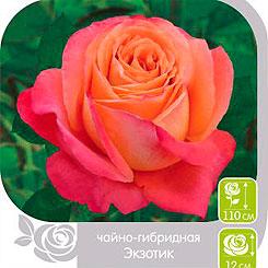 Роза чайно-гибридная ЭКЗОТИК, 1 шт, Семена Алтая