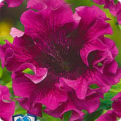 Семена Петуния бахромчатая Титан Пурпуровый, 10 шт, Русский богатырь Гавриш