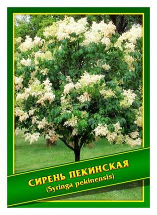 Семена Сирень Пекинская, 0,5 г Симбиоз